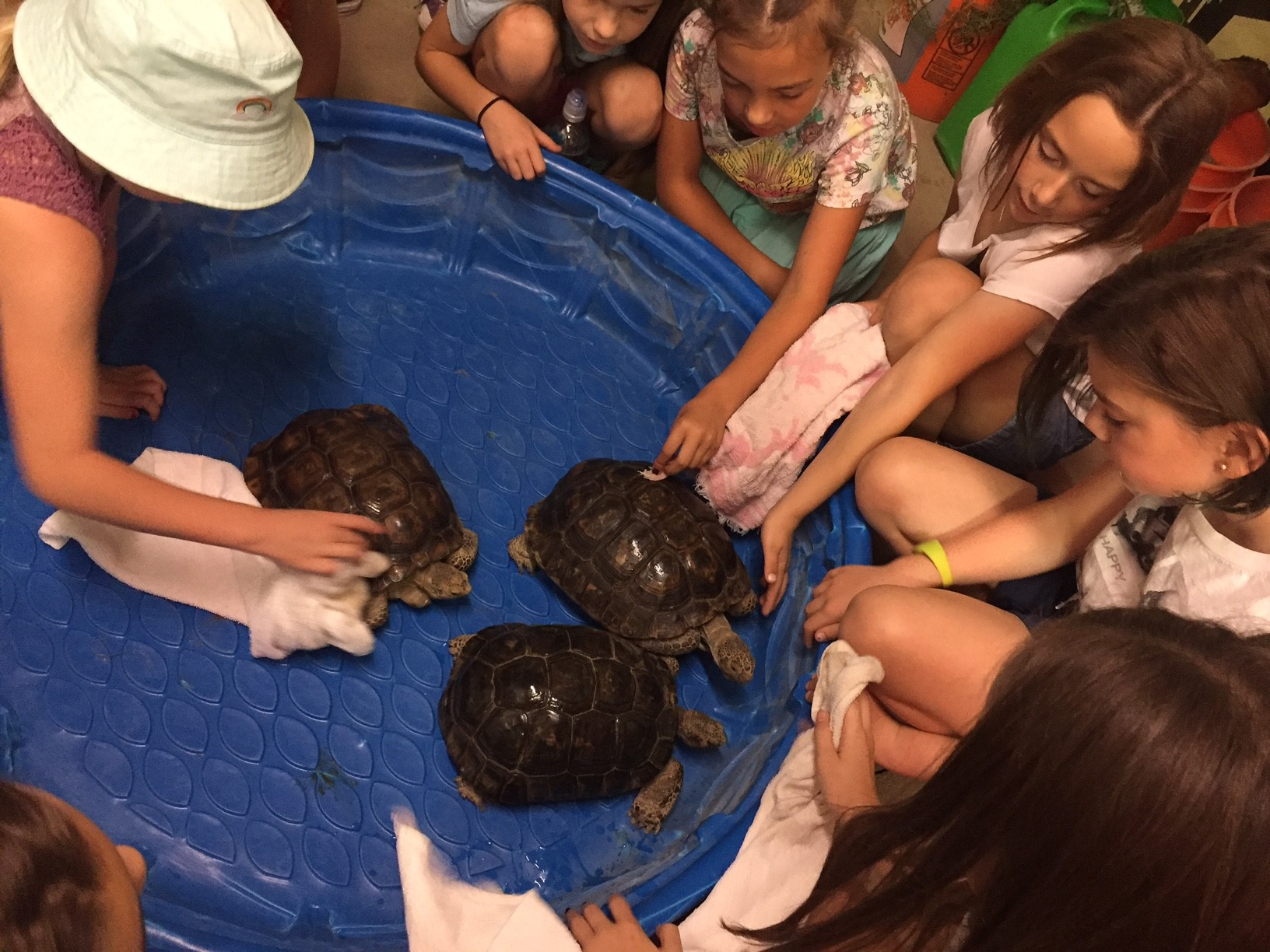 Blue plastic pool with three turtles inside. Children surround it petting them